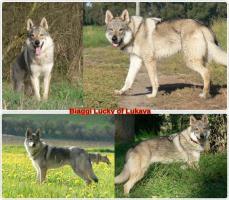Foto 5 Czechoslovakian wolfdog with paper