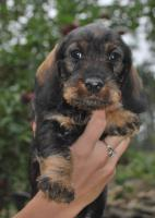 Foto 6 DACHSHUND WIREHAIRED STANDARD - Excellent puppies