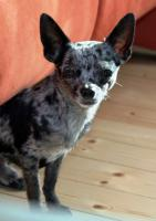 DECKRÜDE - Chihuahua sher schönes kurzhaar Fell merle - super süß ♥