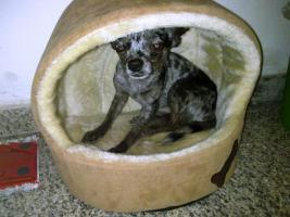 Foto 2 DECKRÜDE - Chihuahua sher schönes kurzhaar Fell merle - super süß ♥