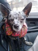 Foto 3 DECKRÜDE - Chihuahua sher schönes kurzhaar Fell merle - super süß ♥