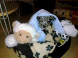 Foto 4 DECKRÜDE - Chihuahua sher schönes kurzhaar Fell merle - super süß ♥