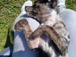 Foto 8 DECKRÜDE - Chihuahua sher schönes kurzhaar Fell merle - super süß ♥