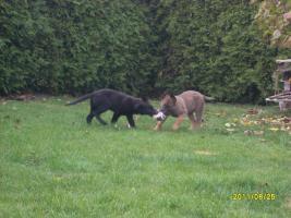 Foto 3 DSH-Welpen 1/1 in braun und schwarz