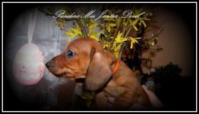 Foto 4 Dachshund kurzhaar Zwerg mit FCI pedigree