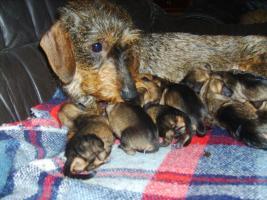 Foto 7 Dackel: Süße Rauhhaardackelchen aus Familienzucht