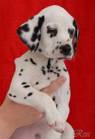 Dalmatiner – Welpen mit schwarzen Tupfen