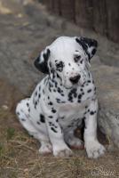 Foto 3 Dalmatiner – Welpen mit schwarzen Tupfen