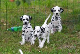 Foto 4 Dalmatiner – Welpen mit schwarzen Tupfen