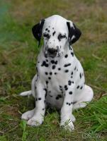 Foto 5 Dalmatiner – Welpen mit schwarzen Tupfen