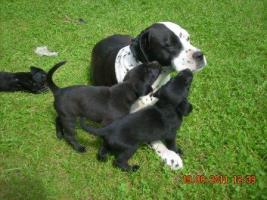 Dalmatiner/Boxer-Labradormixwelpen