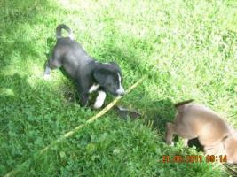 Foto 3 Dalmatiner/Boxer-Labradormixwelpen