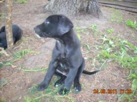 Foto 4 Dalmatiner/Boxer-Labradormixwelpen