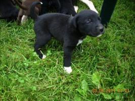 Foto 5 Dalmatiner/Boxer-Labradormixwelpen