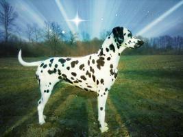 Foto 3 Dalmatiner Welpen von Champion Eltern zum Verkauf