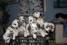 Dalmatiner suchen neues Zuhause