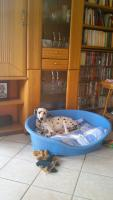 Dalmatiner - weibl., 5 Monate
