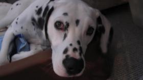Dalmatinerdame ''Pia'' sucht ein neues liebevolles Zuhause