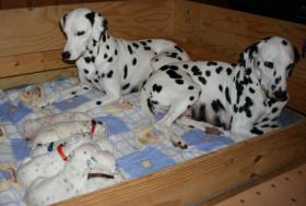 Foto 2 Dalmatinerwelpen mit VDH/CDF Papieren