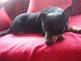 Foto 6 Dan, ein kleiner Traumhund sucht seine Traumfamilie