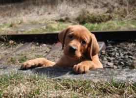 Dean-edler dunkler foxred Labrador Welpe aus Familien Hausaufzucht sucht neue Familie