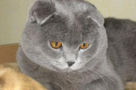 Deckkater Scottish Fold