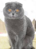 Foto 3 Deckkater Scottish Fold