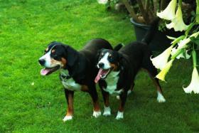 Deckmeldung Entlebucher Sennenhunde vom Elbland