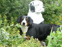 Deckmeldung/Wurfankündigung Entlebucher Sennenhund Welpen