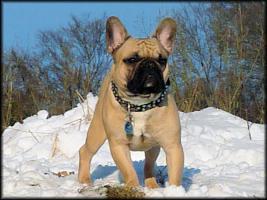 Deckr�de: Franz�sische Bulldogge