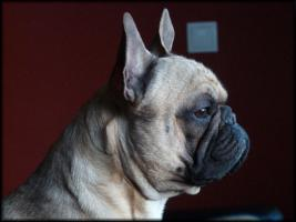 Foto 3 Deckr�de: Franz�sische Bulldogge