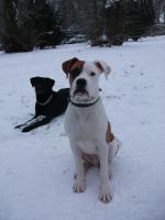 Foto 2 Deckrüden Amerikanischer Bulldoggenmix