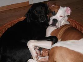 Foto 4 Deckrüden Amerikanischer Bulldoggenmix