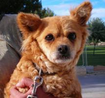 Dena, ein 30cm kleiner Kettenhund