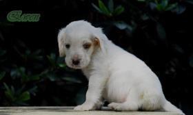 Foto 3 Der Setter ist ein wunderbarer Familienhund. Am liebsten ist er immer ''mittendrin''! Einfach bei seiner Familie. Auch Kinder liebt er über alles. Er liebt lange Spaziergänge. Zwingerhaltung ist für diesen sensiblen Hund das schlimmste.