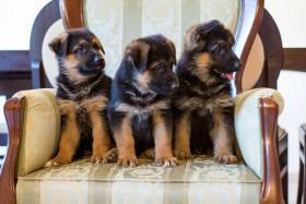 Deutsch Schäferhund Welpen von Champion Herkunft zu verkaufen
