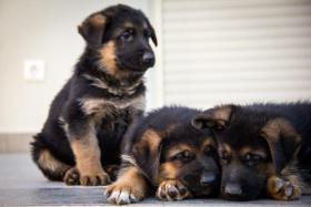 Foto 2 Deutsch Schäferhund Welpen von Champion Herkunft zu verkaufen