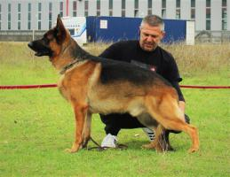 Foto 4 Deutsch Schäferhund Welpen von Champion Herkunft zu verkaufen