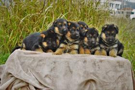 Foto 5 Deutsch Schäferhund Welpen von Champion Herkunft zu verkaufen