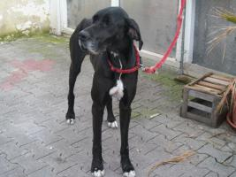 Foto 2 Deutsche Dogge