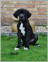 Foto 5 Deutsche Dogge