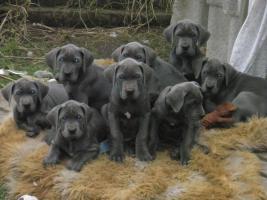 Deutsche Dogge Blau Welpen