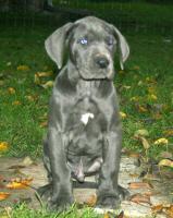 Foto 3 Deutsche Dogge Blau Welpen