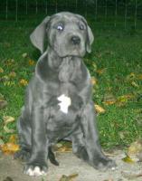Foto 4 Deutsche Dogge Blau Welpen