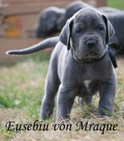 Deutsche Dogge Blaue Welpen mit Papiere