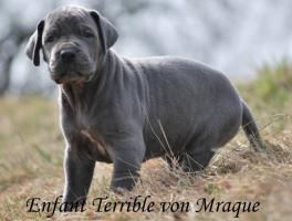 Foto 2 Deutsche Dogge Blaue Welpen mit Papiere