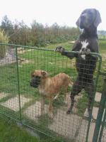Foto 3 Deutsche Dogge Gelber Rüde abzugeben