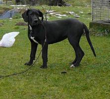 Foto 2 Deutsche Dogge mit Papiere aus Züchterstation