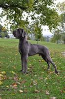 Foto 3 Deutsche Dogge mit Stammbaum FCI aus Hobbyzucht