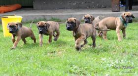 Deutsche Dogge mit Stammbaum Welpen